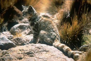 [Image: Andean+Montain+Cat.jpg]